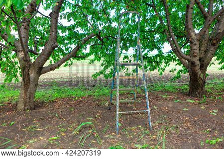 Ladder For Collecting Cherries In The Garden . Cherry Season