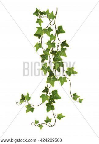 Ivy Plant Branch Cartoon Vector Illustration. Limbing Vine.