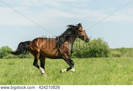 Horse With A Black Bridle And Grass In Its Mouth Is Galloping Across A Field. Galloping Horse Is Cre