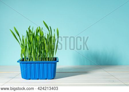 Potted Fresh Green Grass In A Blue Plastic Container On A White Desk. Organic Oat Sprouts For Indoor