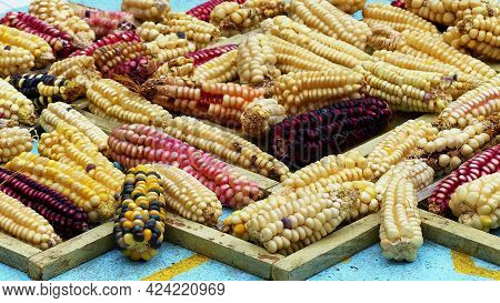 Variety Of Colorful Cubs Of Corn: Indian Corn, Purple And Yellow Corns At The Desk On Display. Cuenc