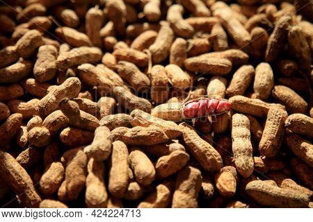 Salvador, Bahia, Brazil - June 18, 2021: Peanut Harvest In Salvador City.    *** Local Caption ***
