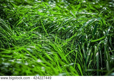 Fresh Green Juicy Grass Backgrounds For Design Or Backdrop Use, Eco Concept With Green Grass Leaves