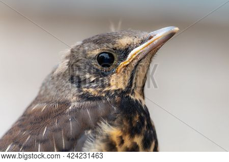 Chick Of Fieldfare. Closeup Head Picture. Summer Season In Lithuania
