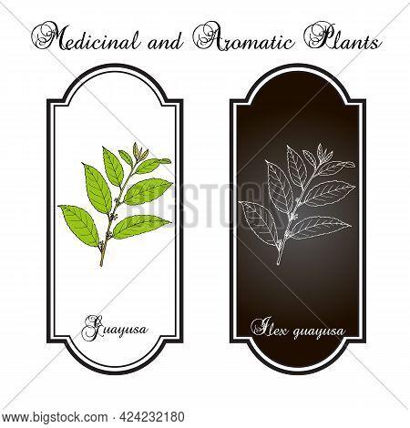 Guayusa Ilex Guayusa , Edible And Medicinal Plant. Hand Drawn Botanical Vector Illustration