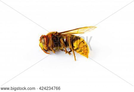 Dried European Hornet Isolated On White Background