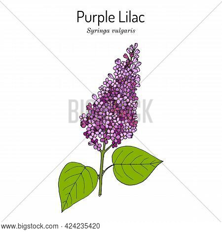 Purple Lilac Syringa Vulgaris State Flower Of New Hampshire. Hand Drawn Botanical Vector Illustratio