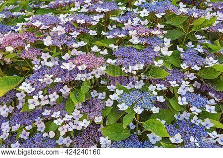 Flowering Shrub Of Hydrangea ( Hydrangea Aspera ) On  Summer Day