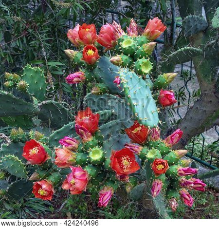 Flattened Leaflike Stems And Flowers Of Opuntia ( Prickly Pear )  In Garden