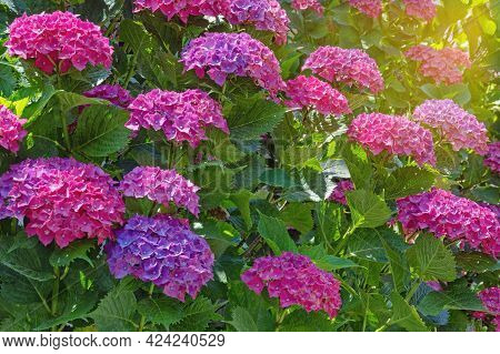 Beautiful Flowers Of Hydrangea ( Hydrangea Macrophylla ) On Sunny Summer Day