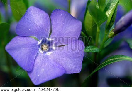 Blossoming Violet Flower With Green Stems Macro Outdoors