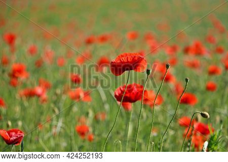 Close Up Of A Beautiful Red Poppy Field