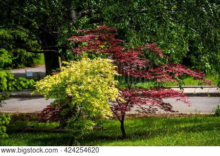 Yellow And Red Japanese Maple Trees, Landscape Photo Of Japanese Tree