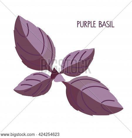 Purple Basil. Fresh Leaves Organic Vegetable Isolated On White Background. Overhead View. Flat Desig
