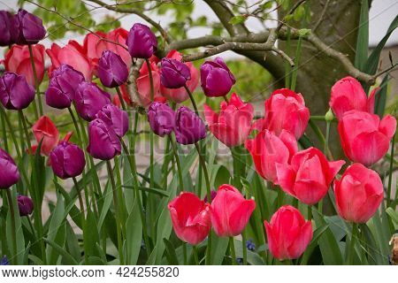 Flowerbed With Colorful Tulips In The Garden