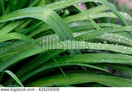 Lily Leaves And Raindrops Top Background. Green Oblong Leaves With Water Drops In Spring. Elongated