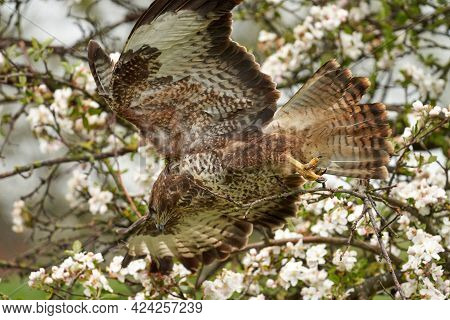 Close-up Of A Buzzard Bird Of Prey, Flying In A Fruit Tree. Clumsy Action Of The Bird, He Crashed In