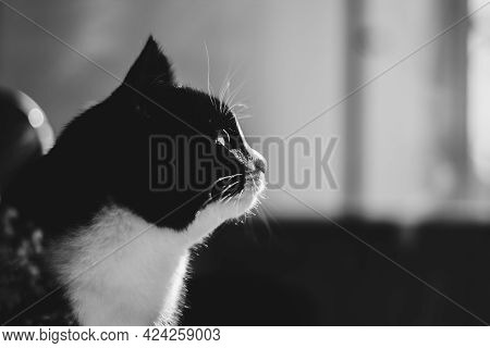 Portrait Of A Black Cat With A White Neck Looking Into The Game In The Distance.