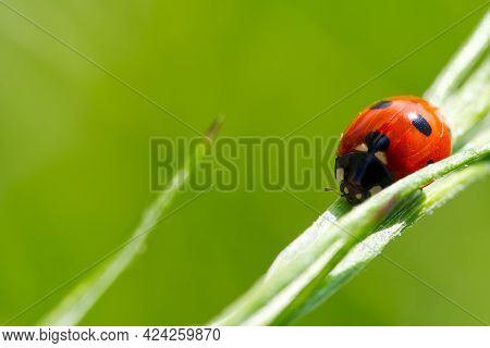 Little Ladybird At Morning On Green Leaf.