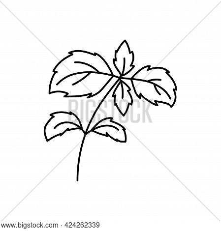 Basil Herbs. Vegetable Sketch. Thin Simple Outline Icon. Black Contour Line Vector. Doodle Hand Draw