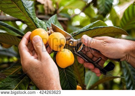 Close-up Of The Hands Of The Farmer Who Harvest The Medlars In The Orchard With Scissors. Traditiona