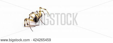 Closeup Of Large Dead Spider On Isolated White Background, Arachnophobia Concept, Dead Arachnid.