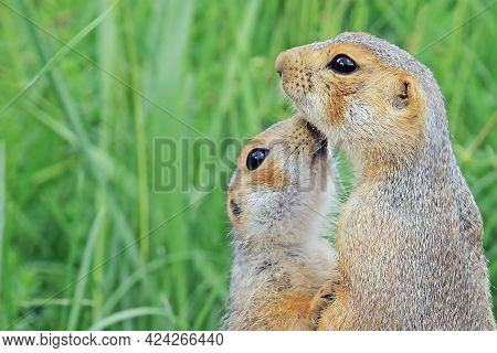 Closeup Of Pair Of Funny Fluffy Cute Ground Squirrels On Green Meadow Sniffing Each Other, Animals I