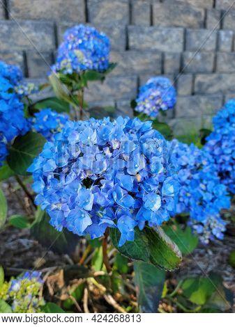 Bright Blue Hydrangea Blossom In Garden With Stone Background