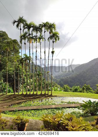 Panoramic View Of Tropical Vegetation In The Botanical Garden In Martinique. Palm Trees, Water Lilie