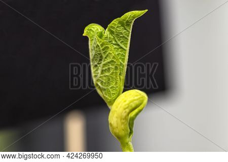 Macro Shot Of Germinated White Beans With Curled Leaves, In The Background Of A Black Tag For Text.