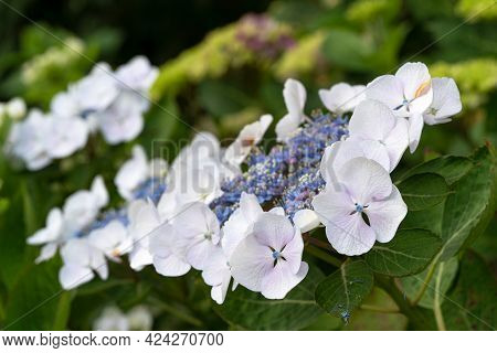 Close Up Image Of Penny Mac (hydrangea Macrophylla), Flowers Of Summer