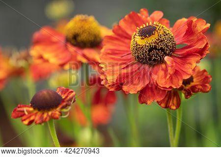 Close Up Image Of Helens Flower (helenium), Flowers Of Summertime