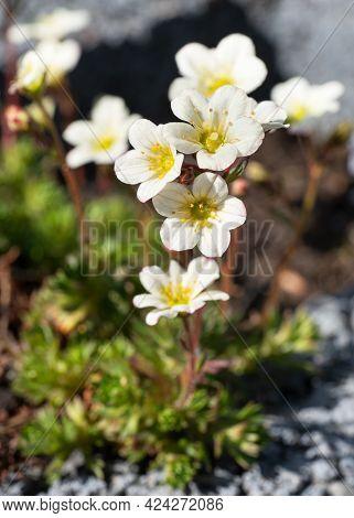 Close Up Image Of Mossy Saxifrage (saxifraga Bryoides)