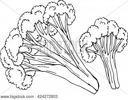 Sketch Cauliflower On White Background. Hand Drawn Vector Illustration.