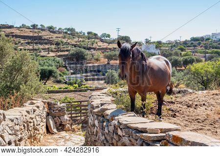 Brown Horse Sunny Day At Sifnos Island, Greece. Greek Rural Landscape.