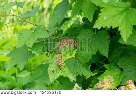 Red Currant Leaves Affected By Gall Aphid