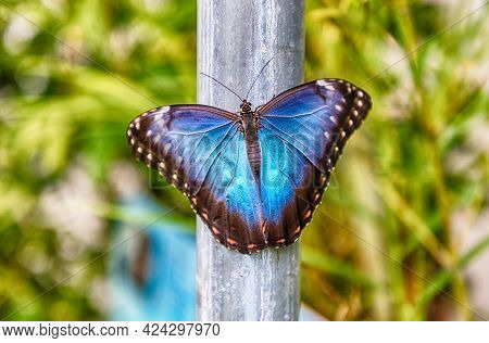 Morpho Peleides, Aka Peleides Blue Morpho Or Common Morpho Is A Tropical Butterfly. Here Showing The