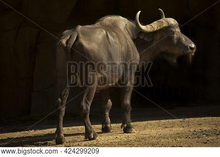 African Buffalo, Cape Buffalo (syncerus Caffer) In Zoo.