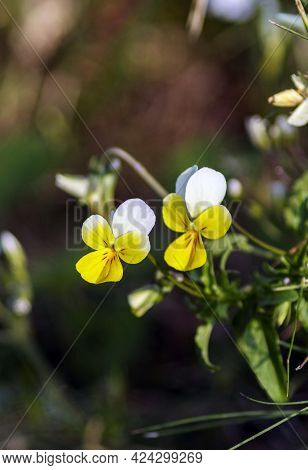 The Horned Violet Is A Perennial Plant Belonging To The Violaceae Species.