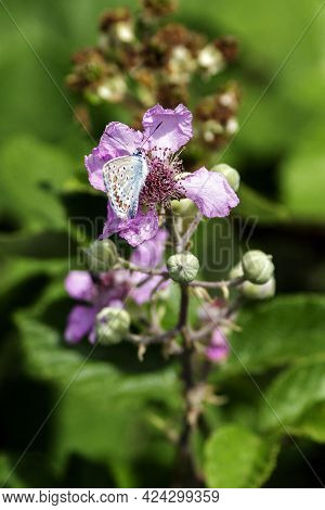 A Polyommatus Icarus, Is A Moth Belonging To The Lycaenidae Family, Widespread In Eurasia And North