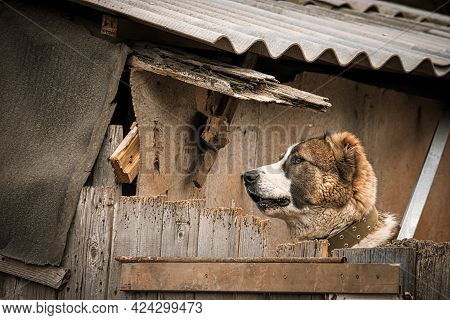 Doggy Head Looking Over The Wooden Fence In Ghetto Slum House.