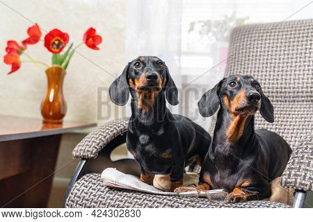 Person Had Just Got Up From Chair, Leaving Glasses And The Newspaper, When Two Funny Cheeky Dachshun