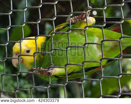 Yellow-headed Amazon In Captivity Inside A Cage Standing On A Fence Of Its Cage