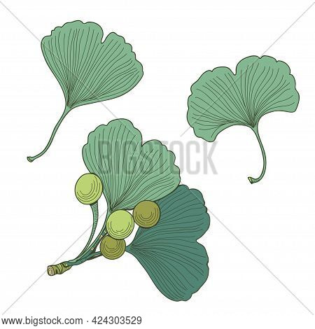 Set Of Ginkgo Biloba Seeds And Leaves. Vector Plant Texture.