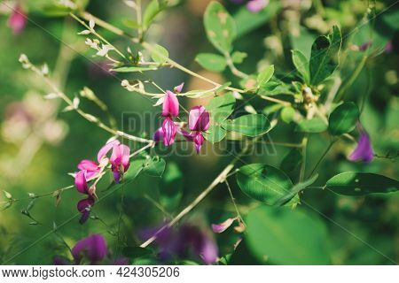 Closeup Of Purple Violet Blooming Japanese Bush Clover Flowers With The Latin Name Lespedeza In A Ze