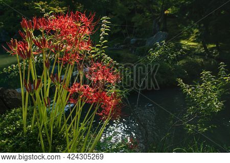 Sunlit Blooming Red Spider Lily, Lycoris Radiata, In Japanese Zen Garden In Front Of Pond In Kyoto,