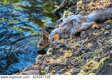 The Squirrel Drinks Water From Pond In The Spring Or Summer. Squirrel With Shedding Hair. Eurasian R