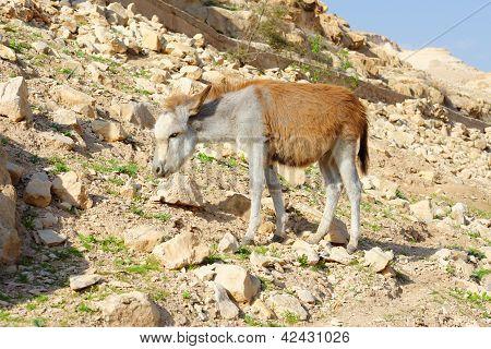 Gelbe und weiße Esel auf felsigen Hügel in der Wüste