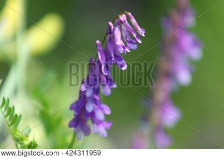 Hairy Vetch In Bloom Close-up With Green Background