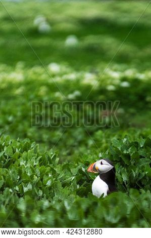 Closeup of puffin on the Farne Islands in Northumberland, England